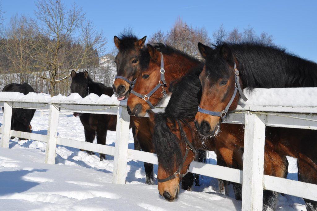 Reitstall mit über 50 Pferden - Aldiana Club Ampflwang